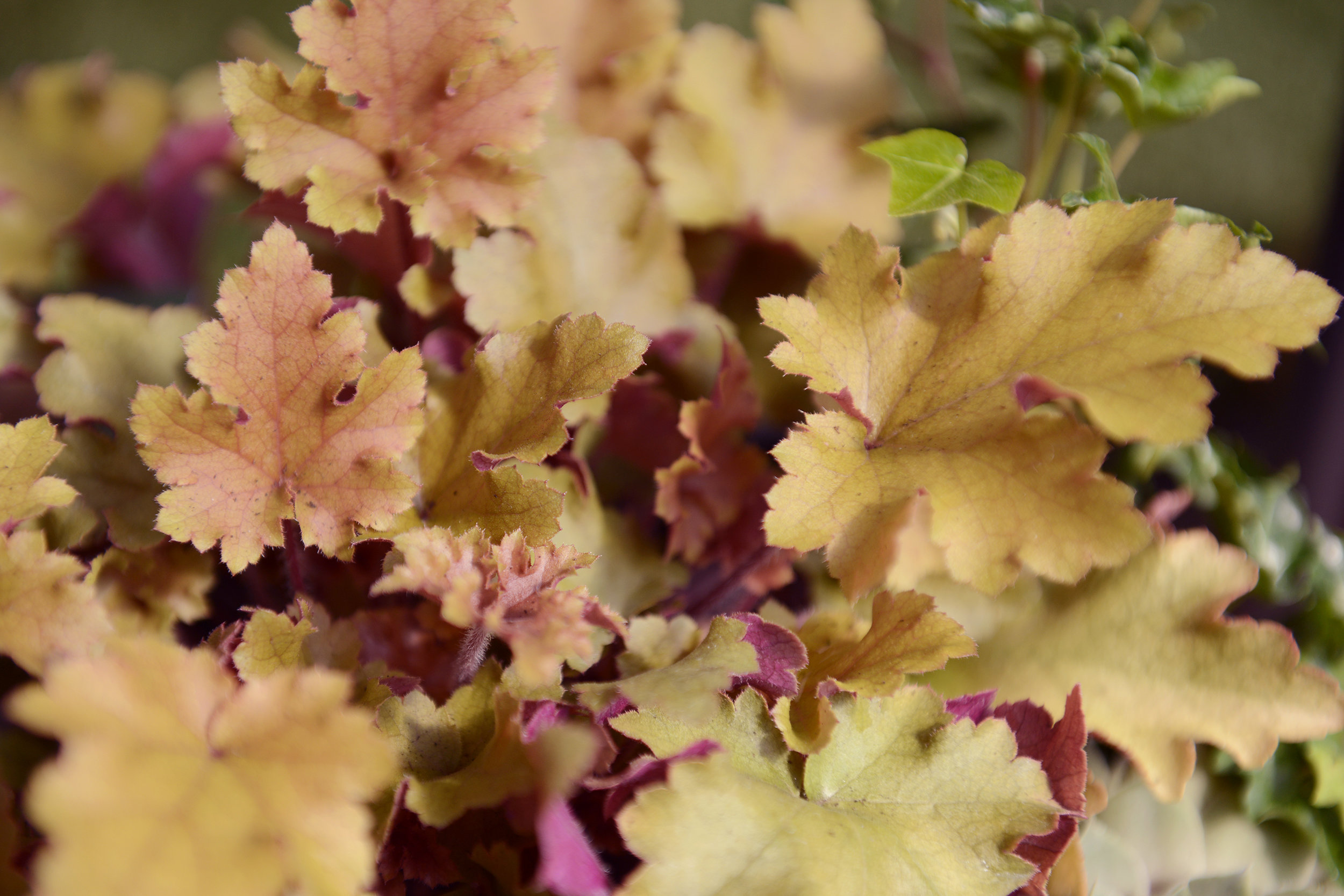 Leaves are falling, Autumn is calling. - Heuchera is the perfect accompaniment to your Autumn containers and will keep its colour throughout the Winter.