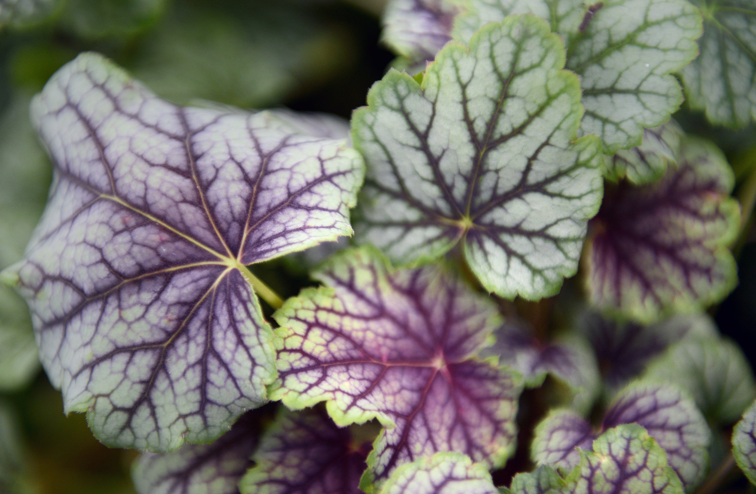 Hooked on Heuchera - This excellent ground cover foliage is our new plant of the moment! Great for planters on the patio or in beds around the garden. Lots of colours to choose from and easy to grow in any soil type. They're happy in the sun or semi shade and keep their colour all year round! £8.99