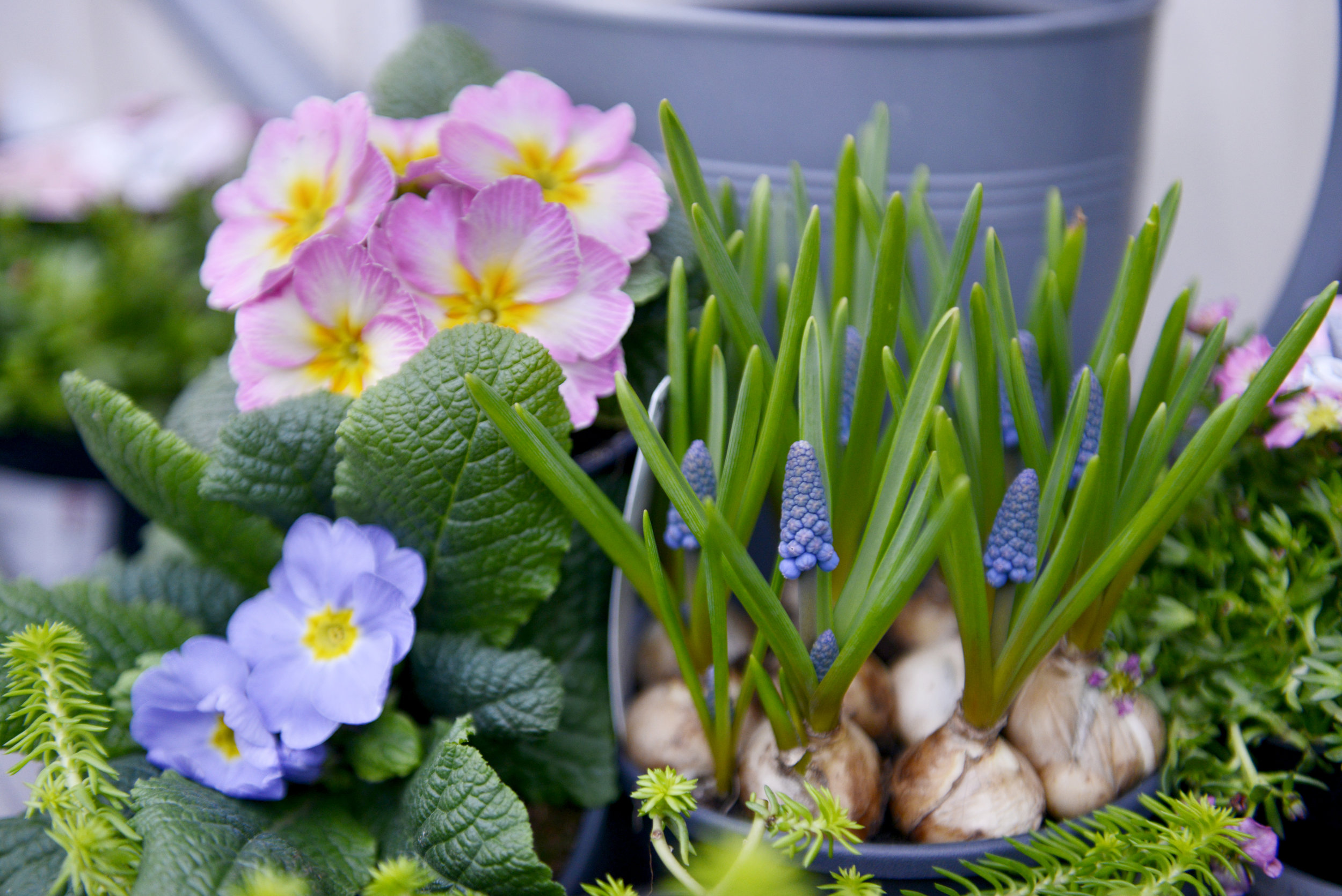 Light Bulb Moment - Don't worry if you've forgotten to plant your Spring bulbs we've done it for you! We have Hyacinth, Muscari, Tete a Tete, Snow Drops, Iris, Crocus and Tulips available.