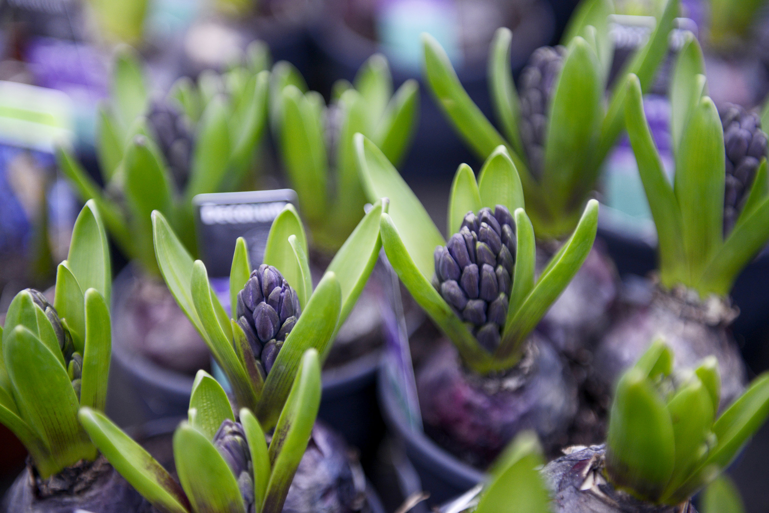 Hiya Cinth 🙋‍♀️ - There are promises of Spring days ahead in Creative Gardens with the sweet smell of hyacinths. You can force these beauties inside and after flowering plant in your garden when the soil has warmed up. They can then be left in the ground from year to year. Don't be tempted to remove the foliage before it has turned brown- the bulbs need the leaves to feed them.