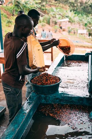 Coffee processing at the Shyira coffee station