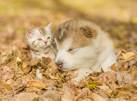 48893419-alaskan-malamute-puppy-sleep-with-tabby-kitten-on-the-autumn-foliage-in-the-park-.jpg