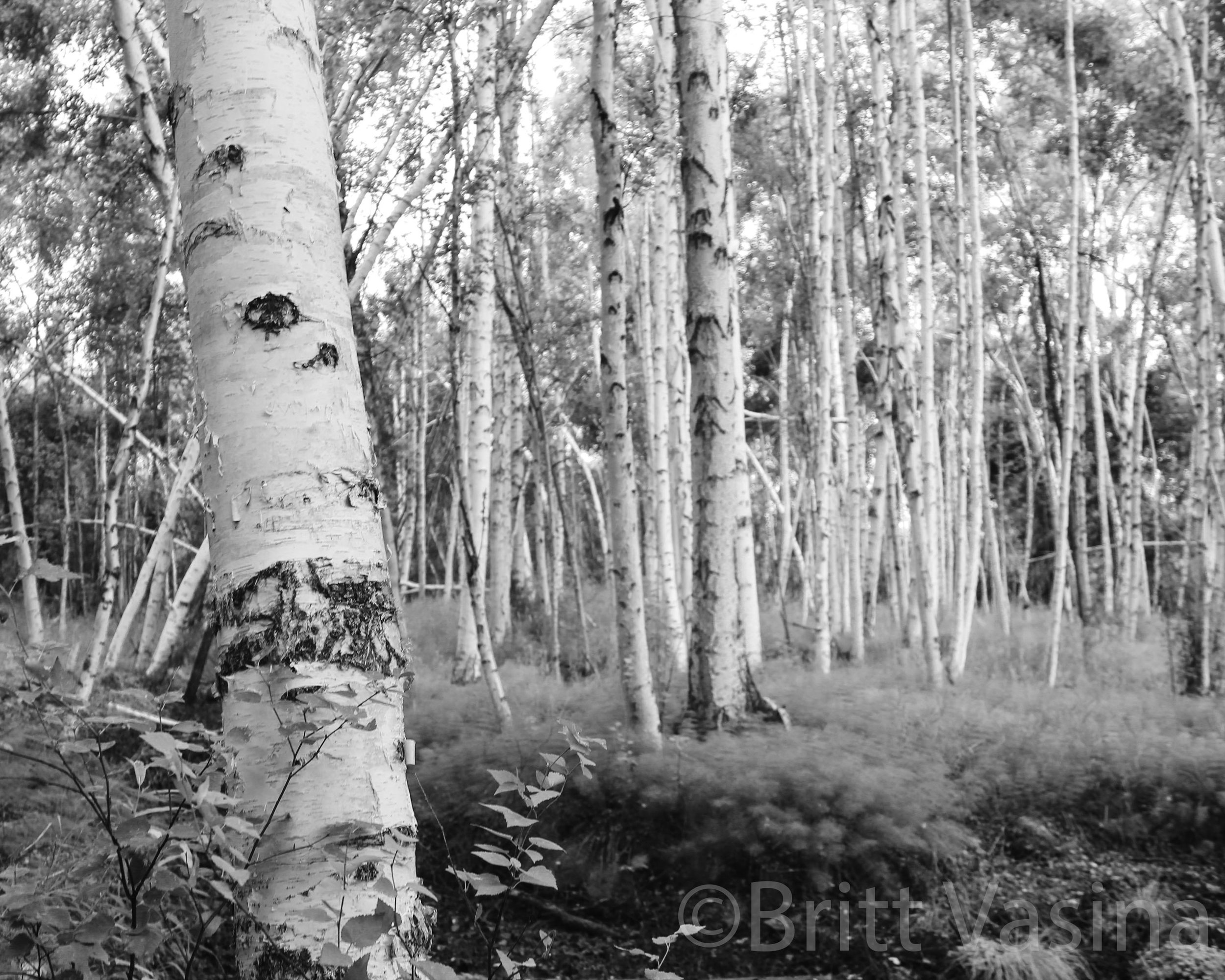 NEWAspens_8x10_B&W WM.jpg