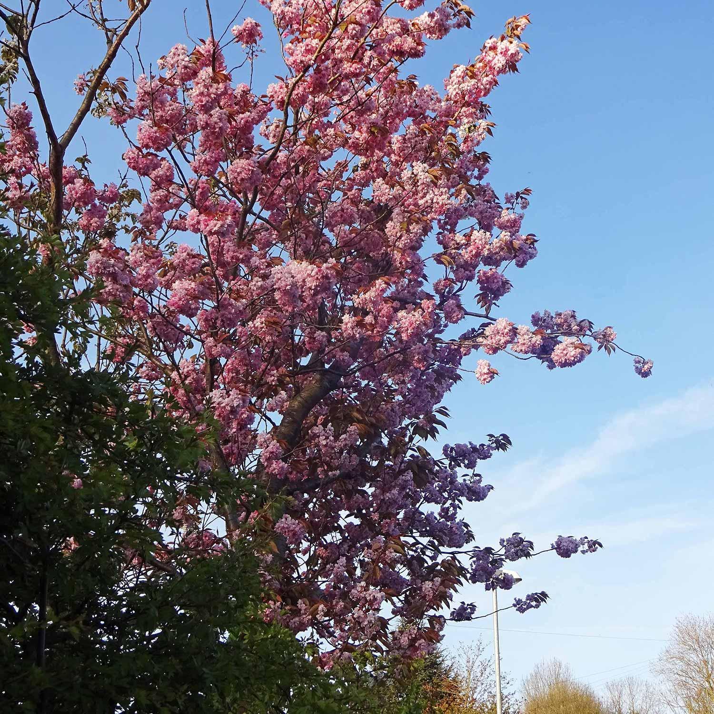 Lovely pimk blossom