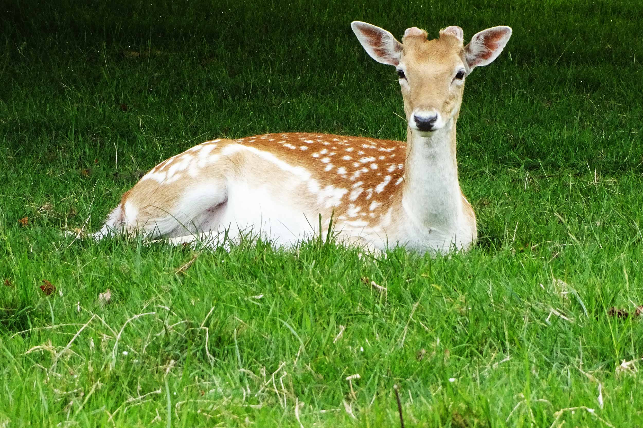A deer at Richmond Park