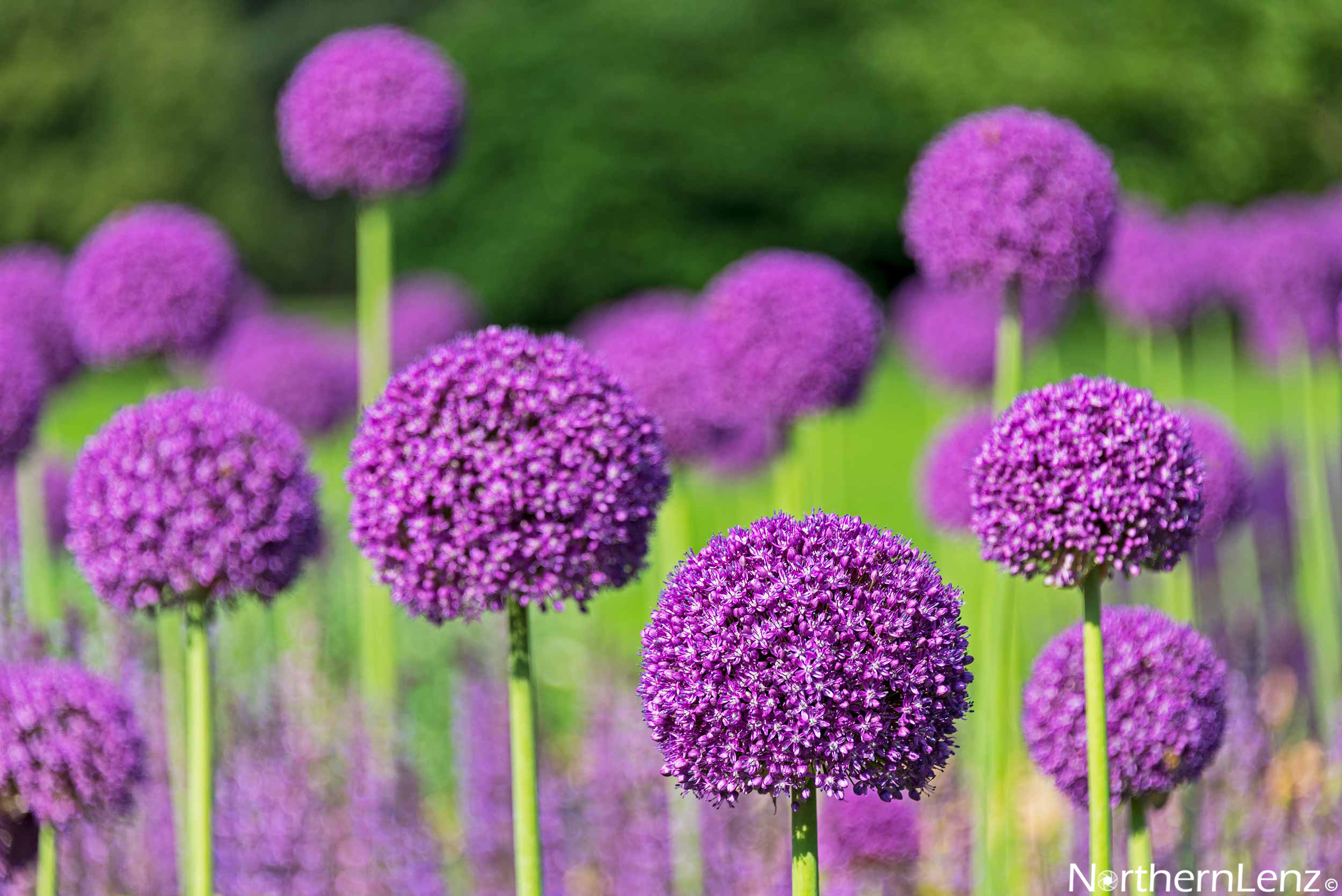Alliums providing a purple feast for the eyes at Kew Gardens, London  Image Ref: UC02