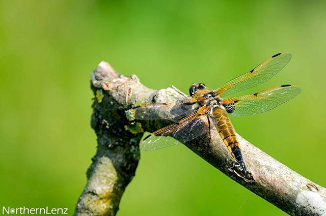 Four spotted chaser basking in the morning sunlight