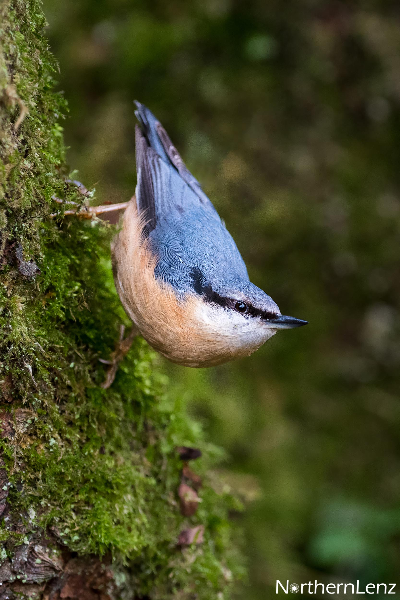 Fleeting glimpse of a Nuthatch  Image Ref: FF07