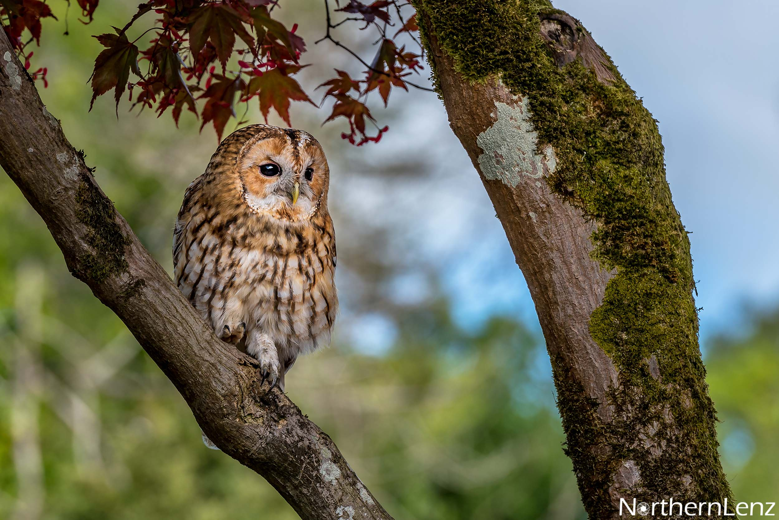 Tawny Owl in its favourite tree  Image Ref: FF04