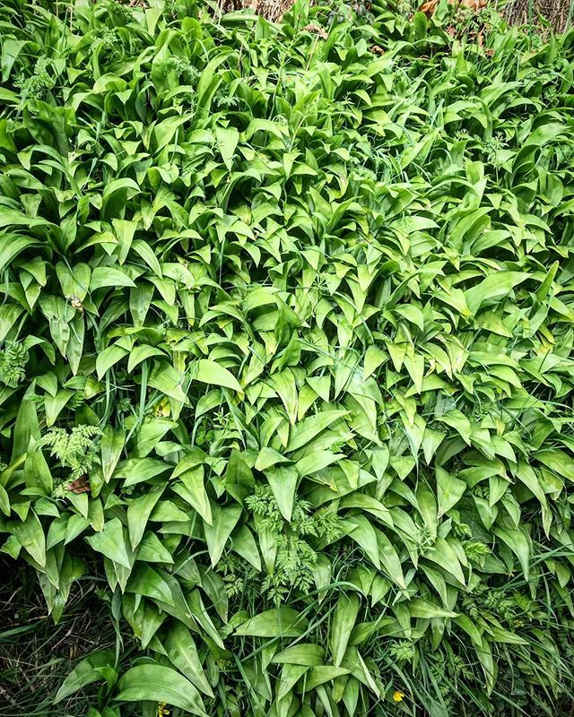 🌿It's that time of year. One of our favourite free ingredients is in season and ready to pick. Have you been enjoying wild garlic yet this year? 🌿