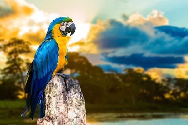 guacamayo-azul-y-amarillo-características.jpg