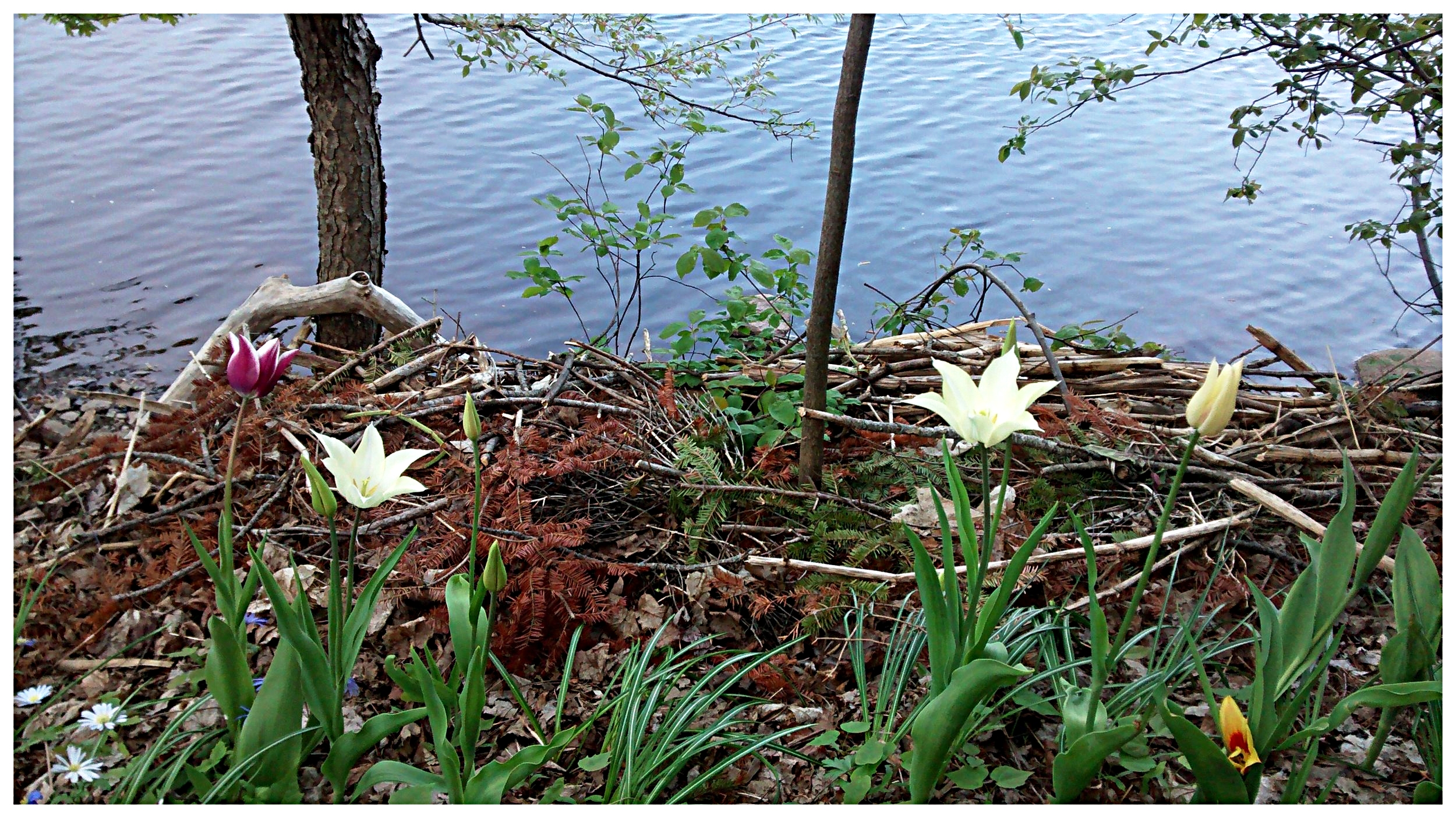 My spring  living shoreline  garden on the  LaHave River . We're looking forward to even more blooms this year ( Bridgewater , Nova Scotia).
