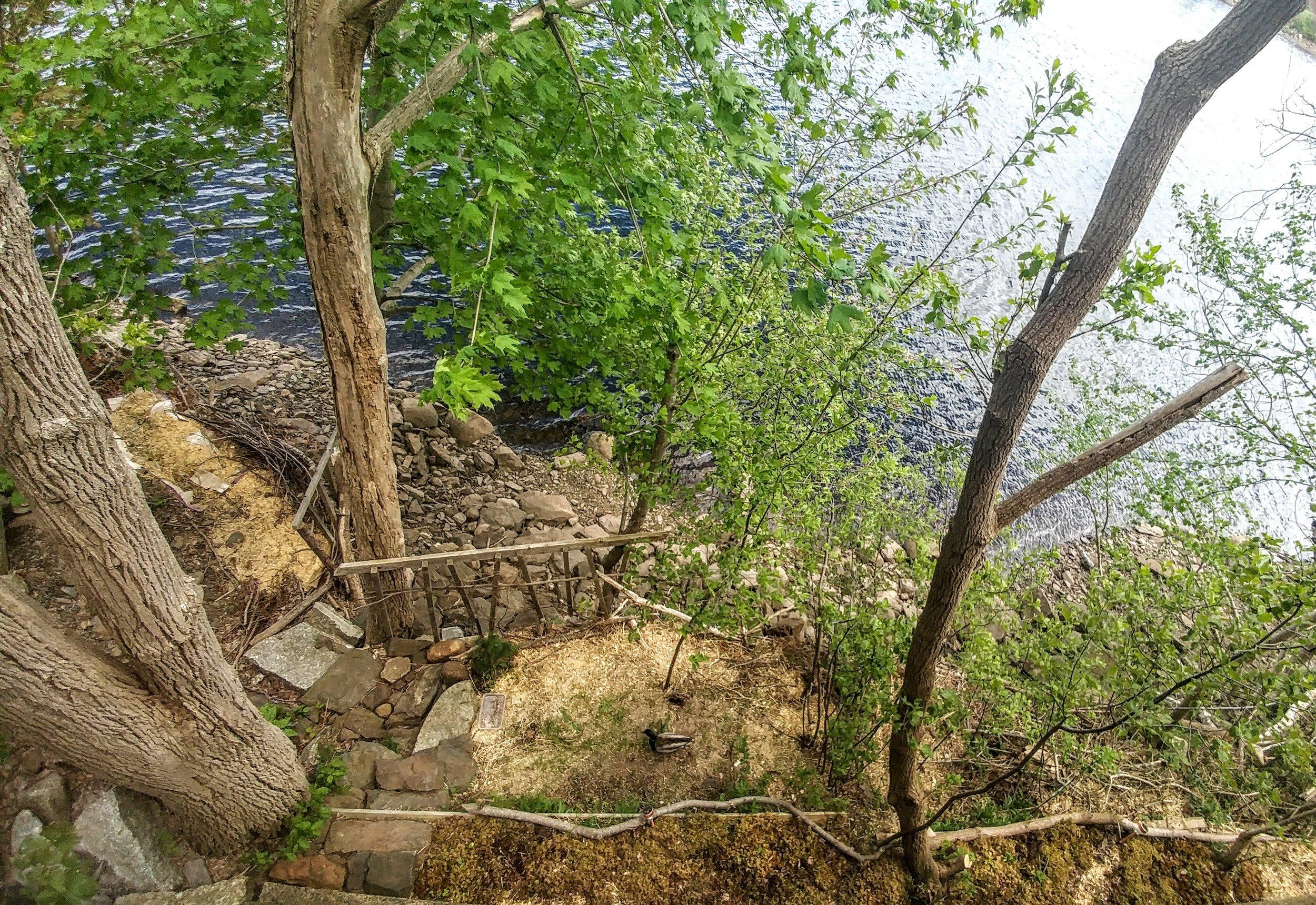 A duck friend enjoys  Earthshine Gardens '  living shoreline  on the  LaHave River .