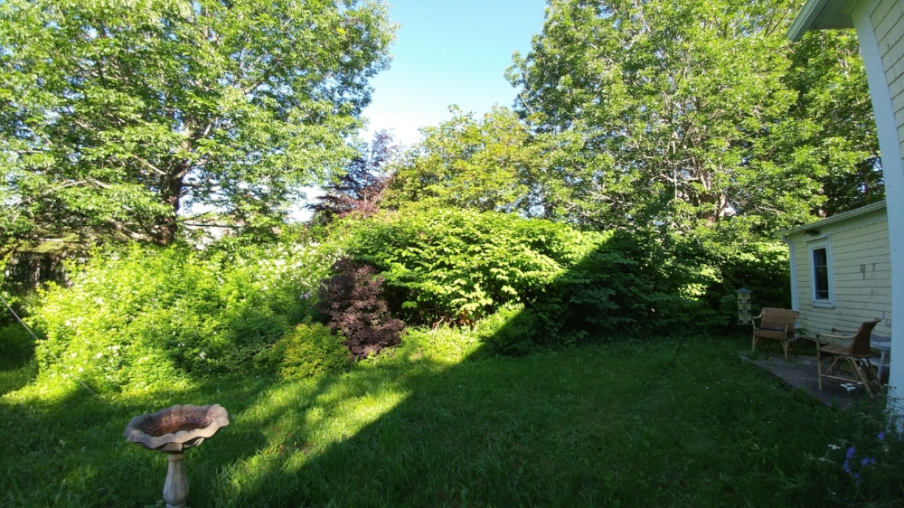 BEFORE: This old country garden had become a thick swath of invasive  Japanese knotweed  and overgrown  multiflora rose   ( Mahone Bay , Nova Scotia) .