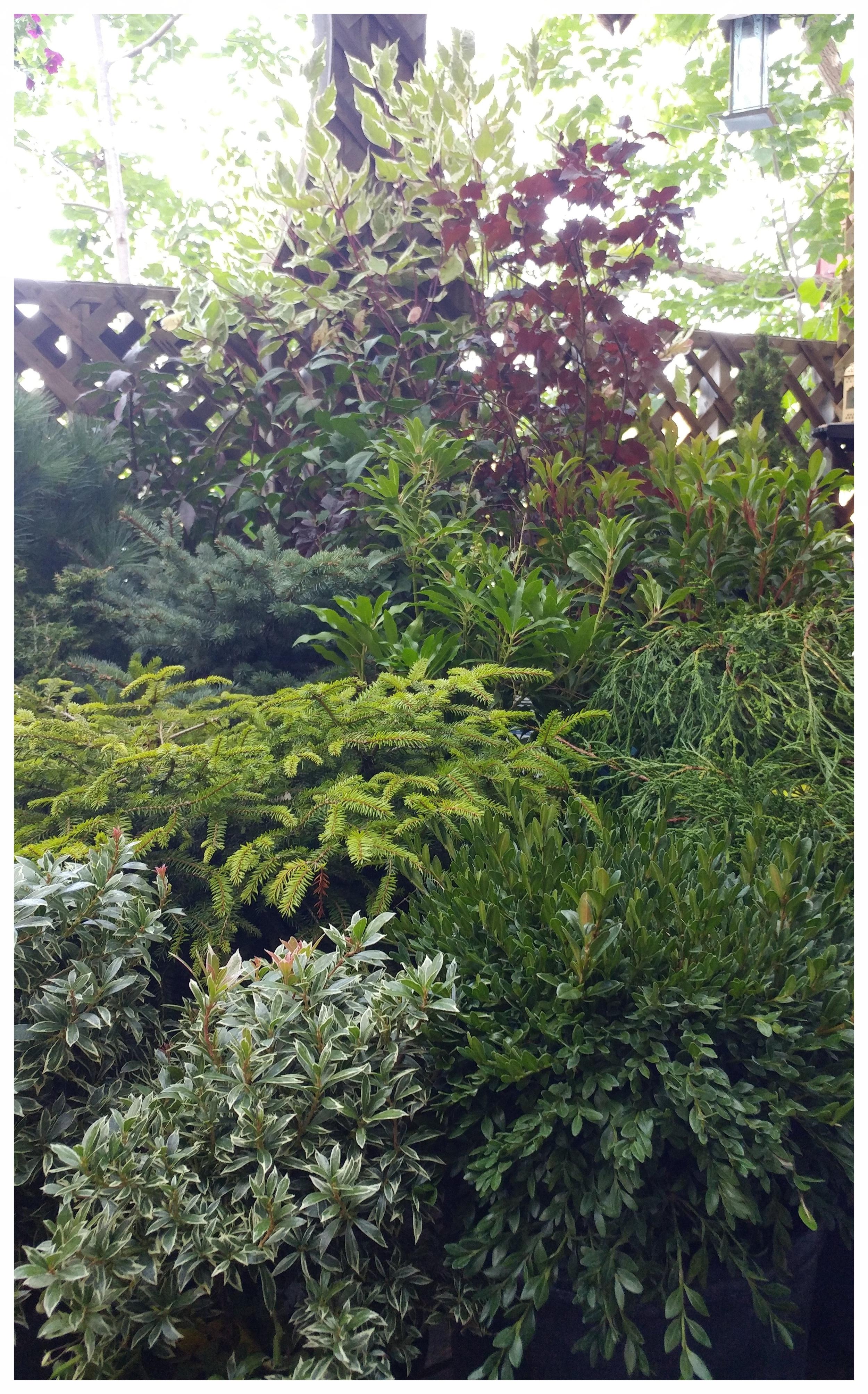 A collection of fall foliage waits to be planted (kalmia, dwarf spruce, boxwood, false cypress, red-osior dogwood, ninebark, pieris and mugo pine).