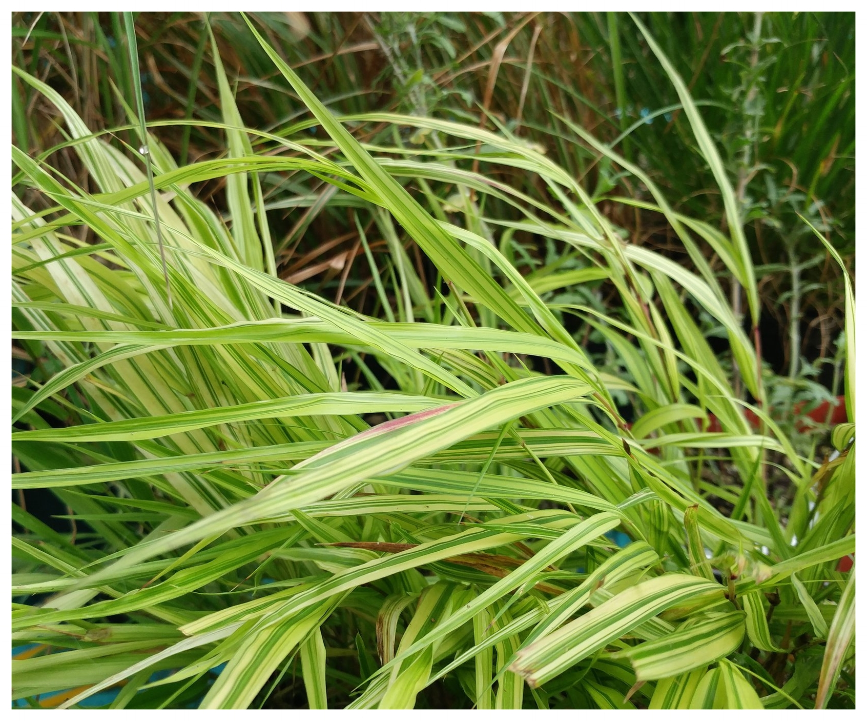Japanese forest grass offers swaths of lime-green foliage and can grow in part-shade.