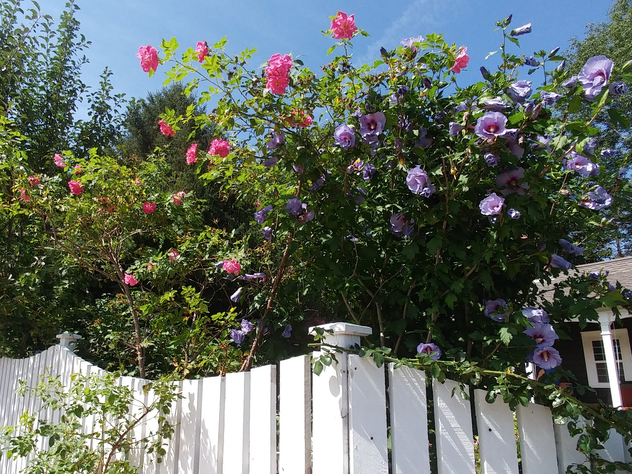 Climbing roses, rose-of-Sharon and a white picket fence offer old garden romance (Mahone Bay).