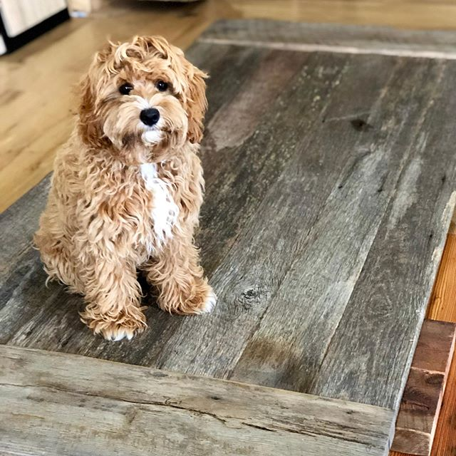 Ollie approves 🙌 & wants to keep this reclaimed barn door for himself 🐶  We build custom tables and barn doors. Visit our website or stop by our showroom for your next wood project.  EBWoodWorks.com  1717 N. Hwy 17 Mt. Pleasant  #reclaimedwood #barndoor #reclaimedbarndoor #charlestonliving #modernrustic #australianlabradoodle #doodlesofinstagram #ollieroo