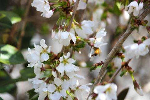 white flowering bush.jpg
