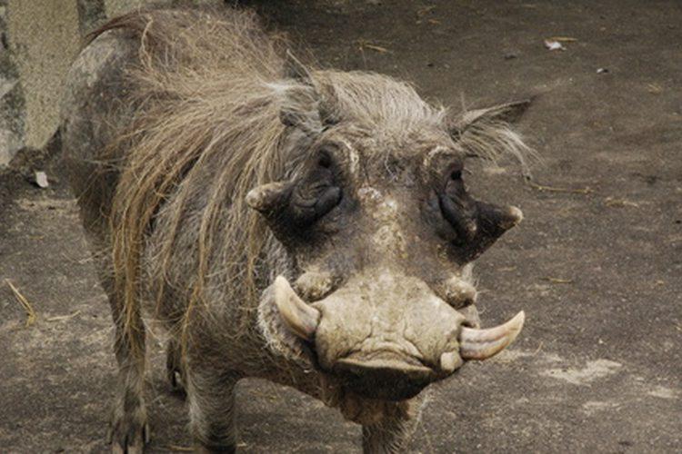 alabama-laws-feral-hog-hunting-1.1-800x800.jpg