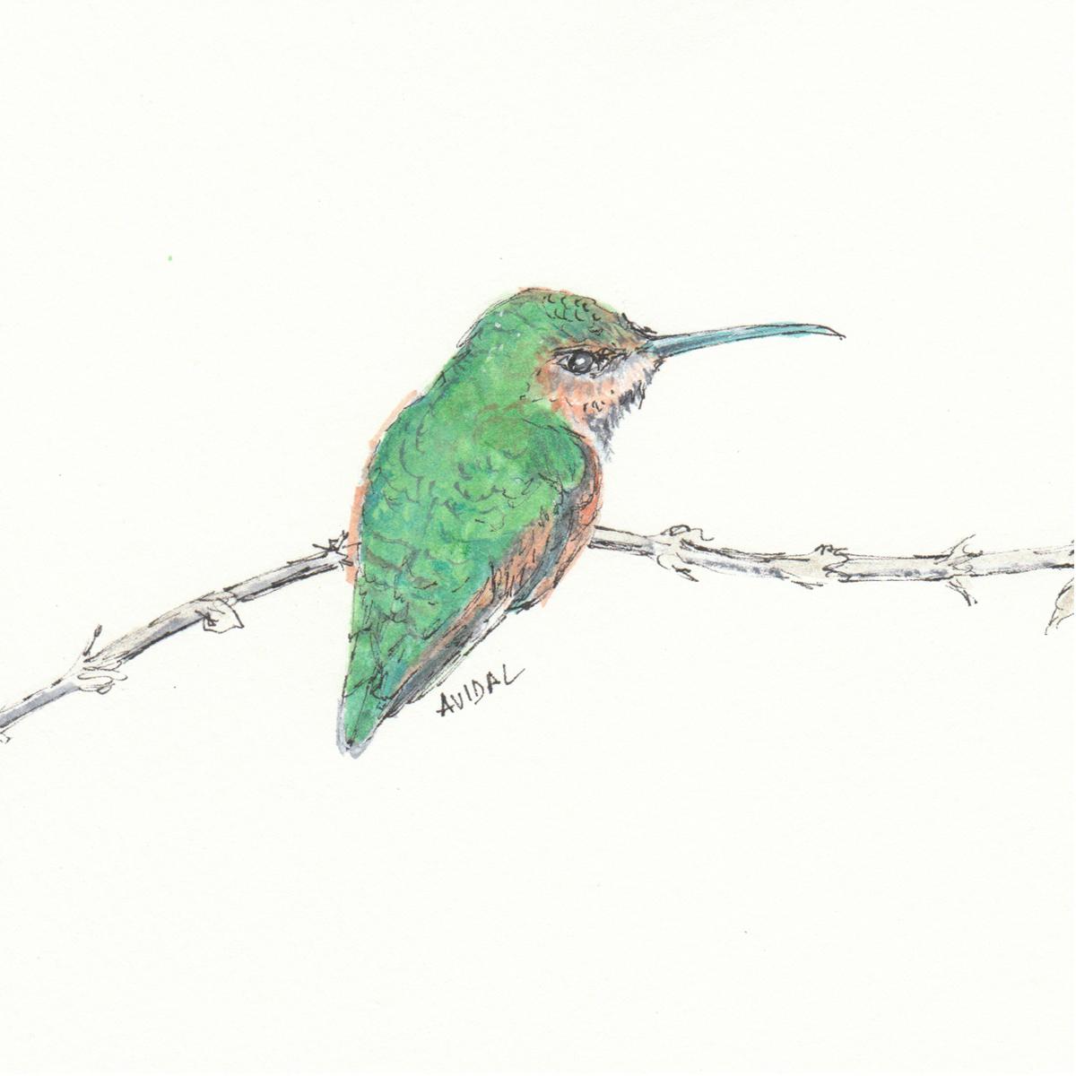 """Allen's Hummingbird, Watercolor and Ink, 5"""" x 7"""""""