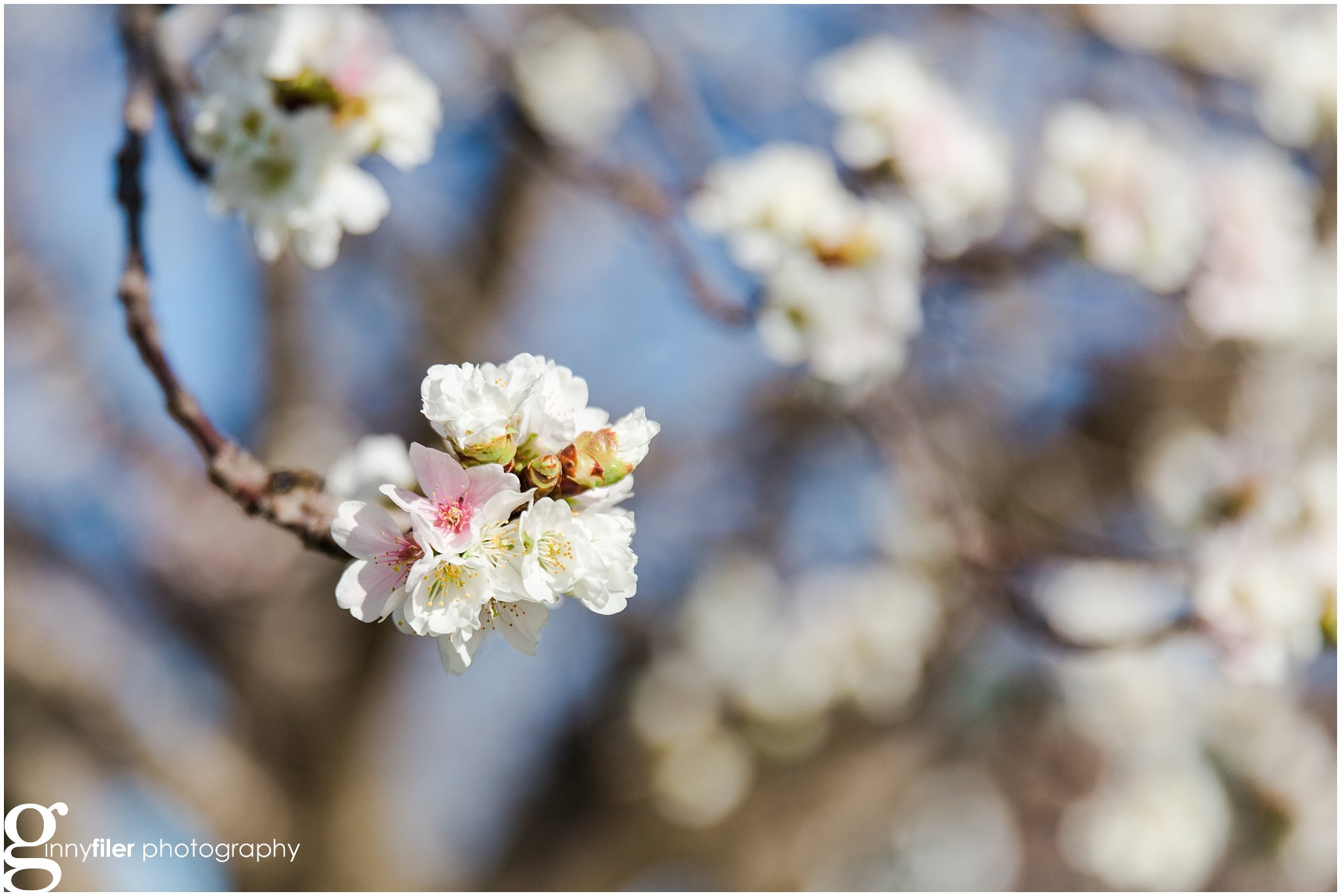 cherry_blossoms_washingtondc_photographer_0057