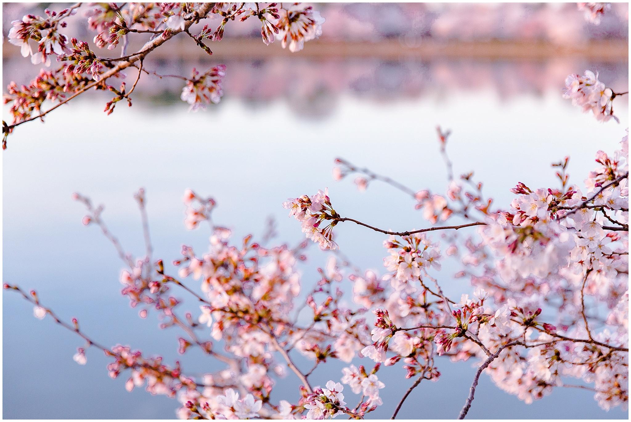 cherryblossom_washingtondc_spring_pink_0049.jpg