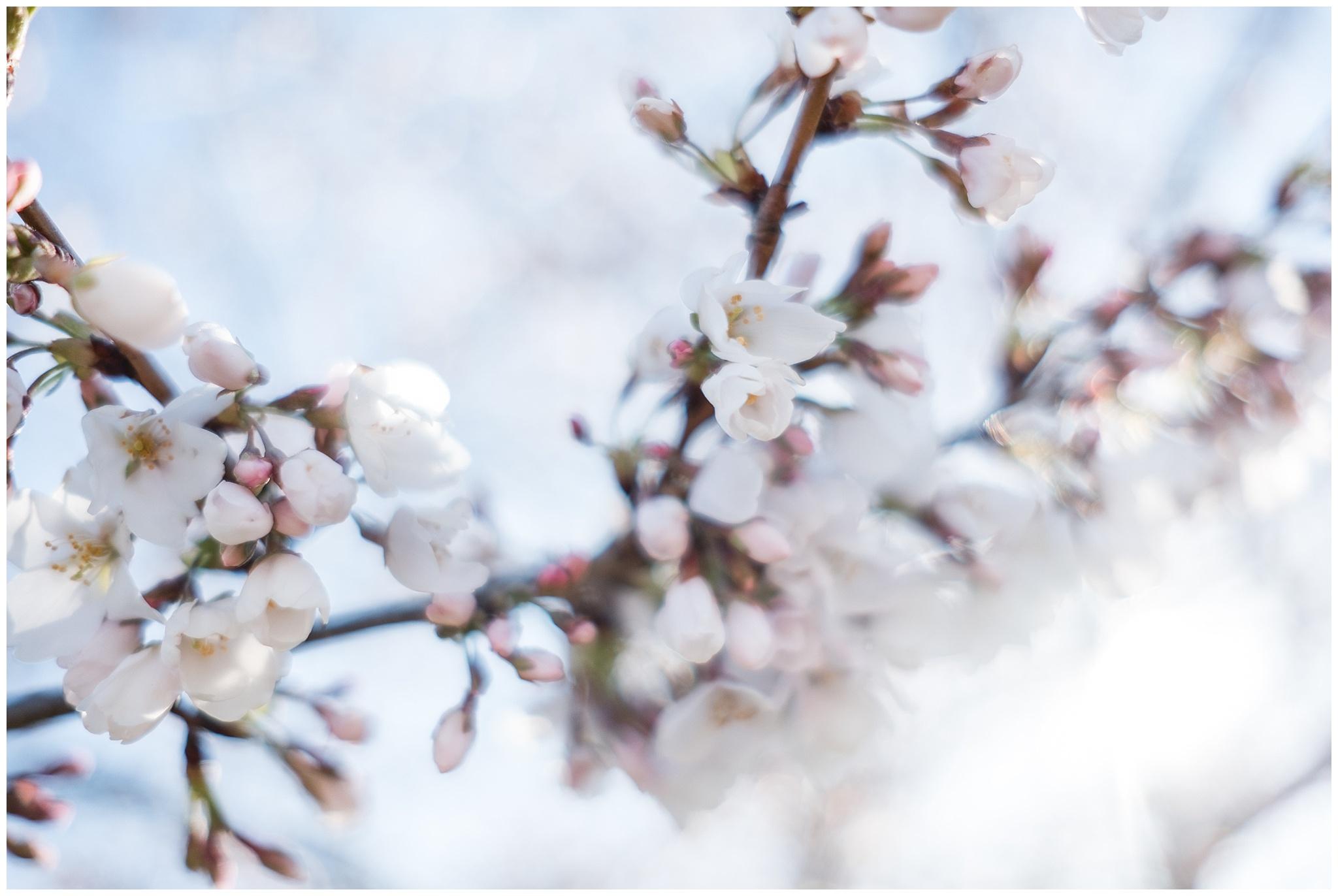 cherry_blossoms_0002.jpg