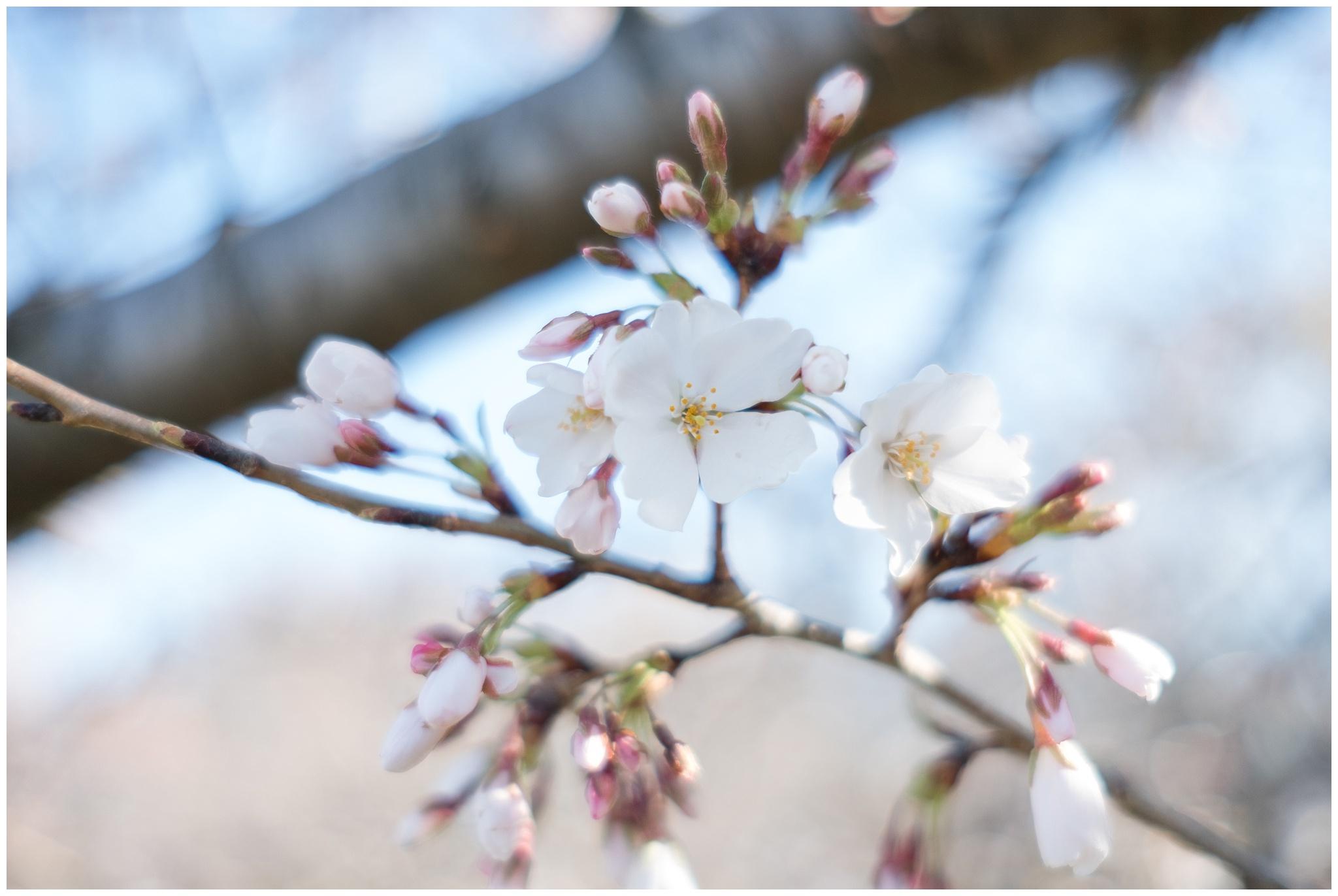cherry_blossoms_0004.jpg