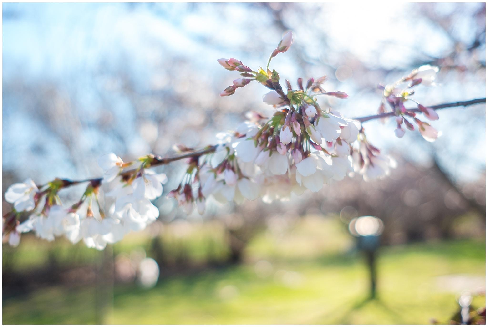 cherry_blossoms_0007.jpg