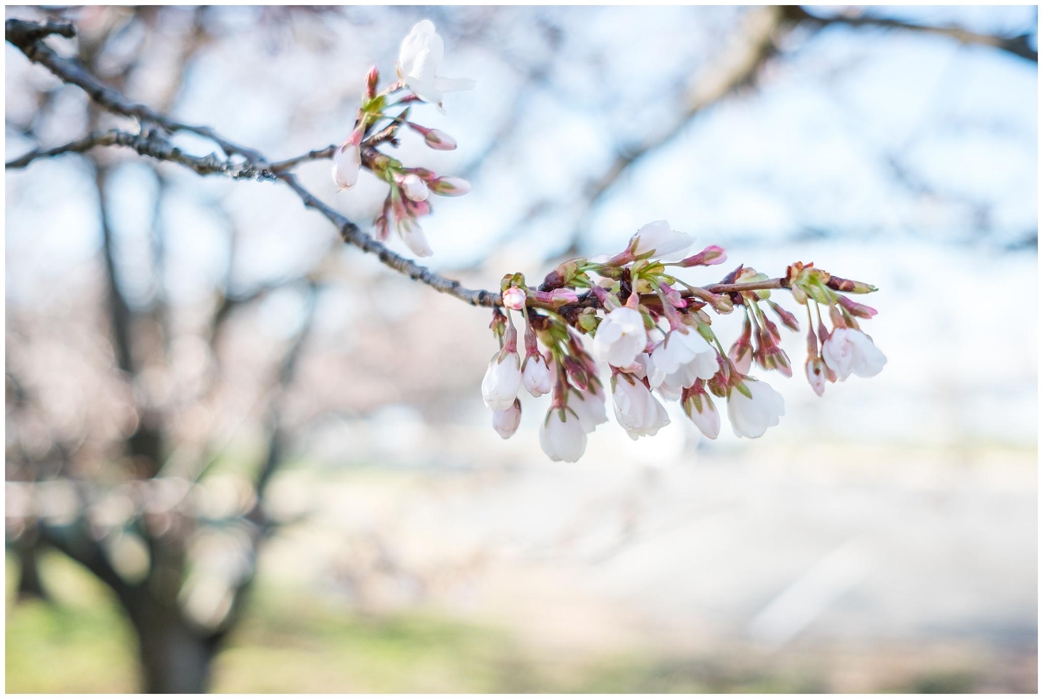 cherry_blossoms_0008.jpg