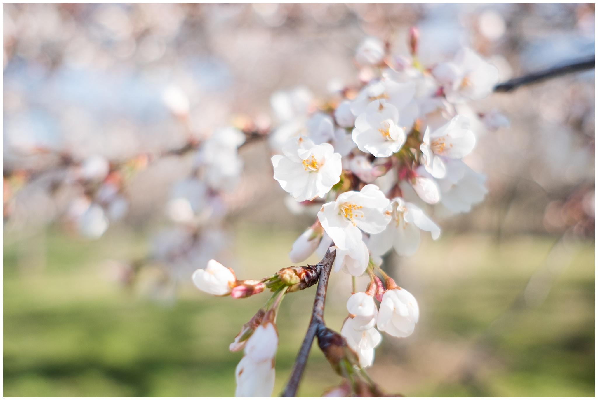 cherry_blossoms_0009.jpg