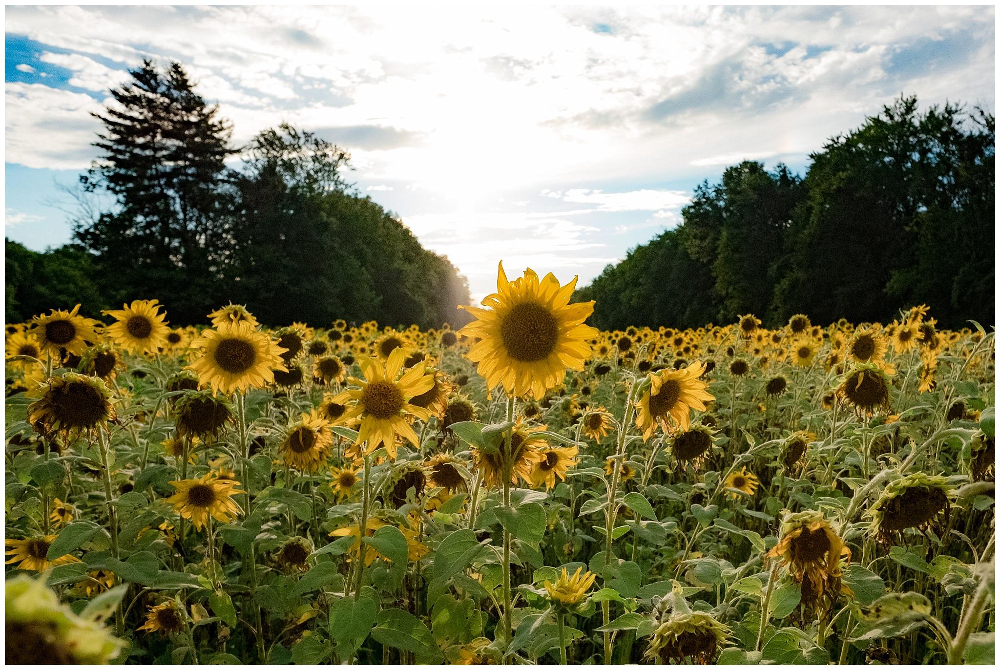 sunflowers_DC_0002.jpg