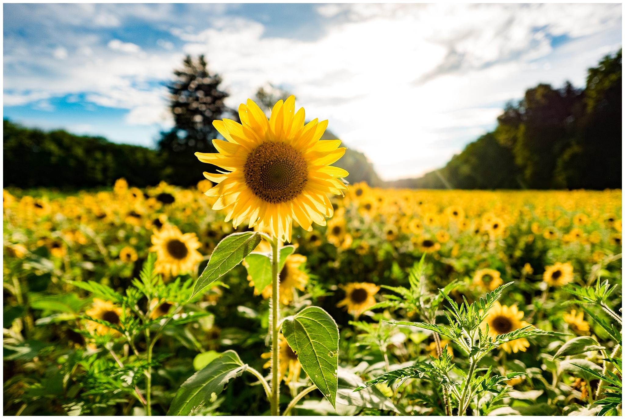 sunflowers_DC_0008.jpg