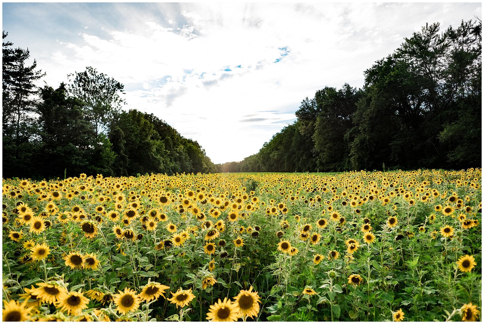 sunflowers_DC_0011.jpg