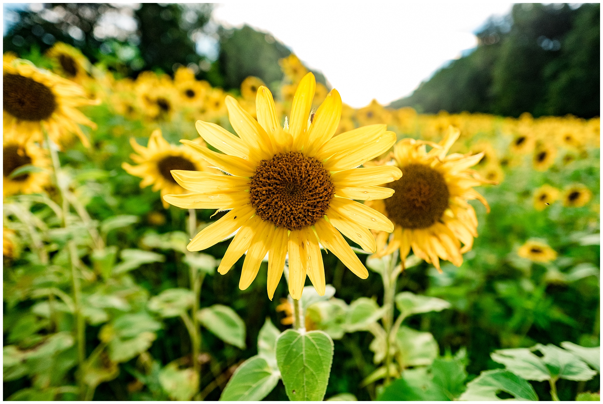 sunflowers_DC_0012.jpg
