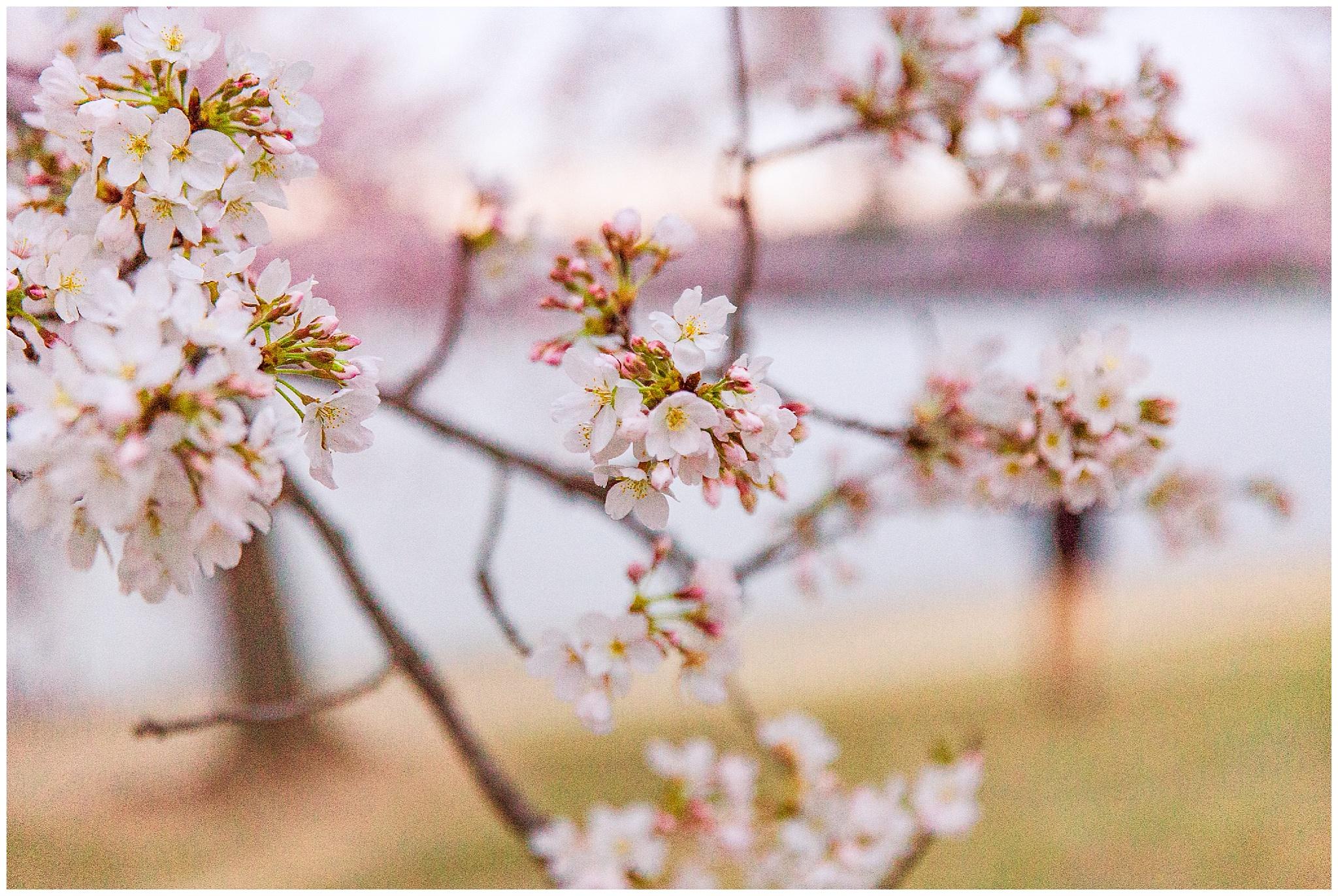 cherryblossoms_0004.jpg