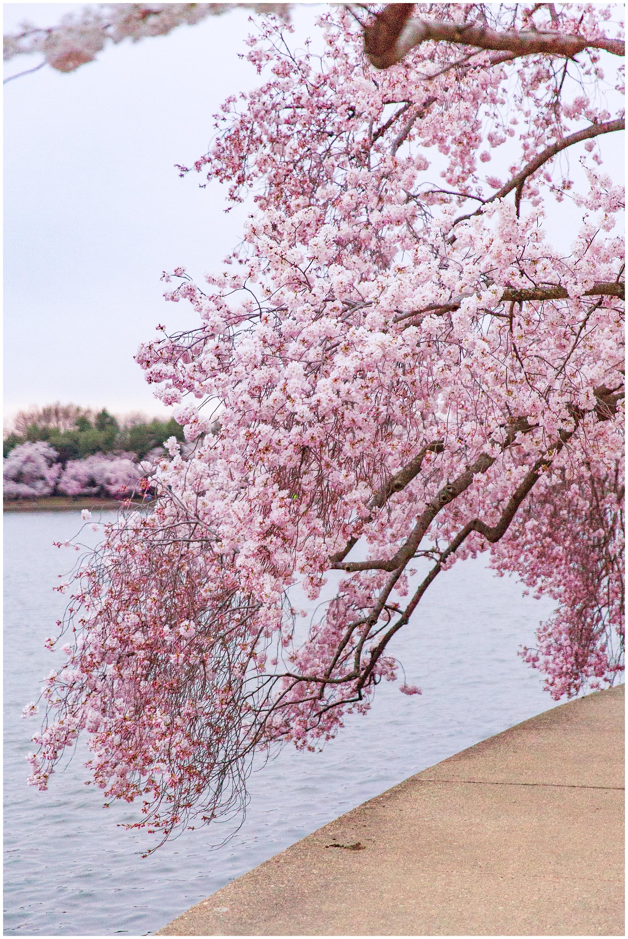 cherryblossoms_0003.jpg