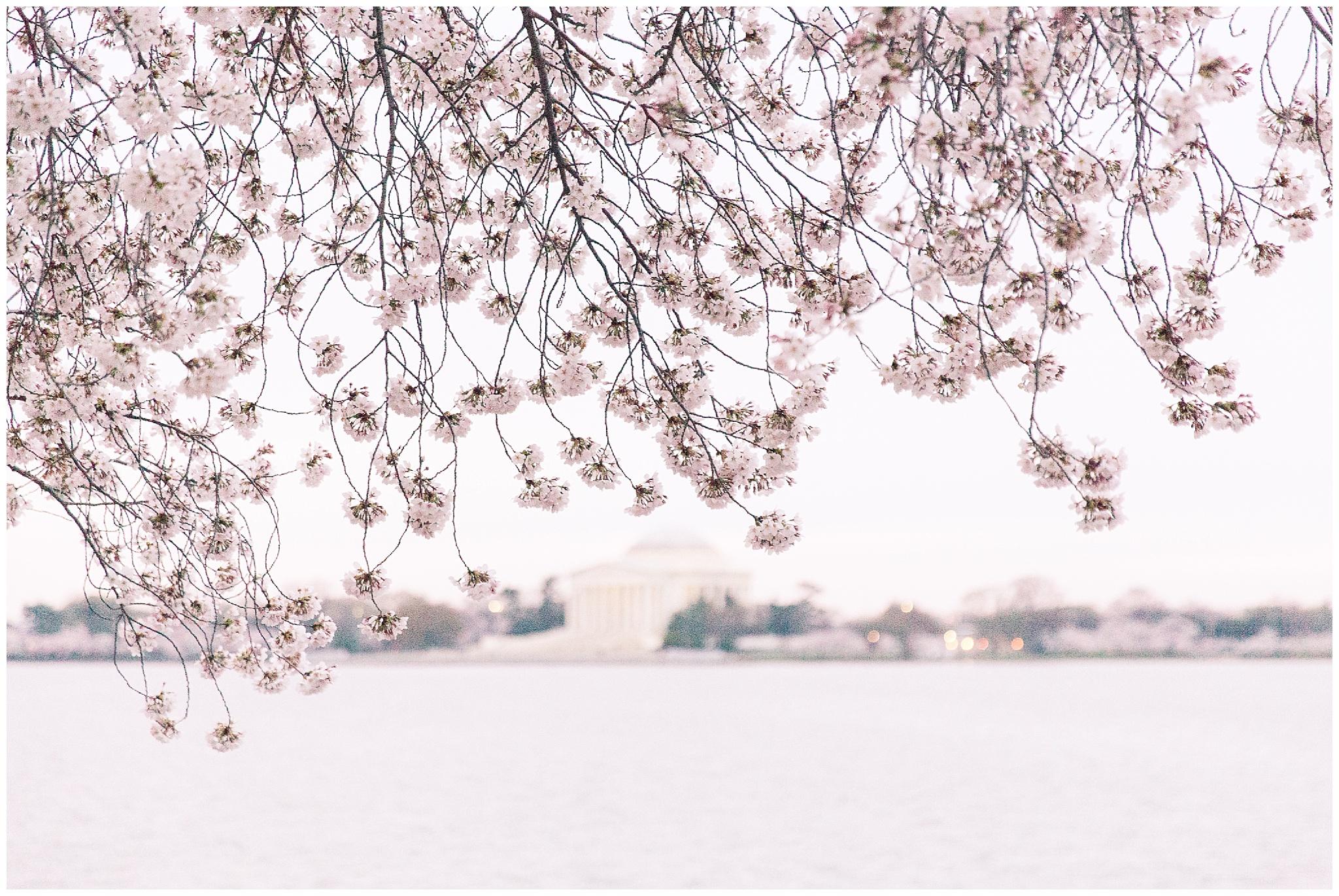 cherryblossoms_0006.jpg