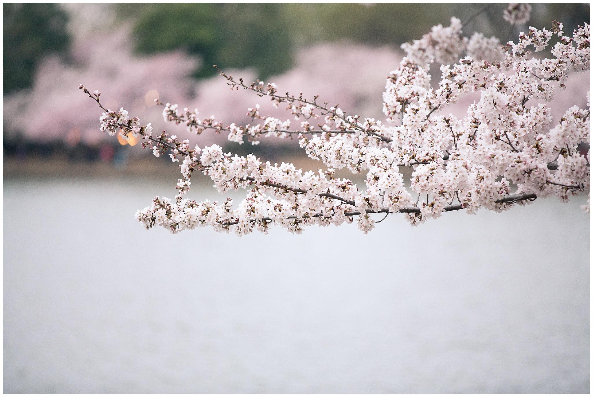 cherryblossoms_0010.jpg