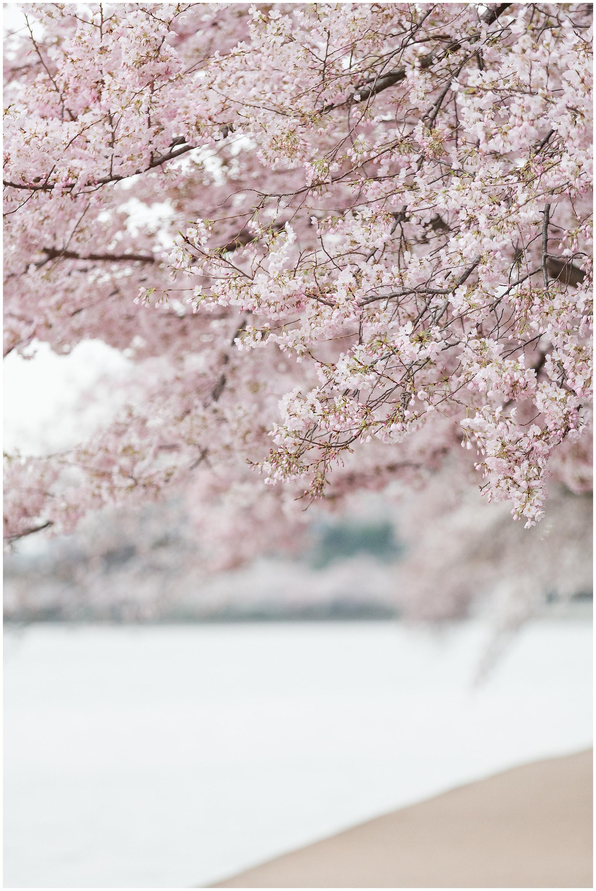 cherryblossoms_0015.jpg