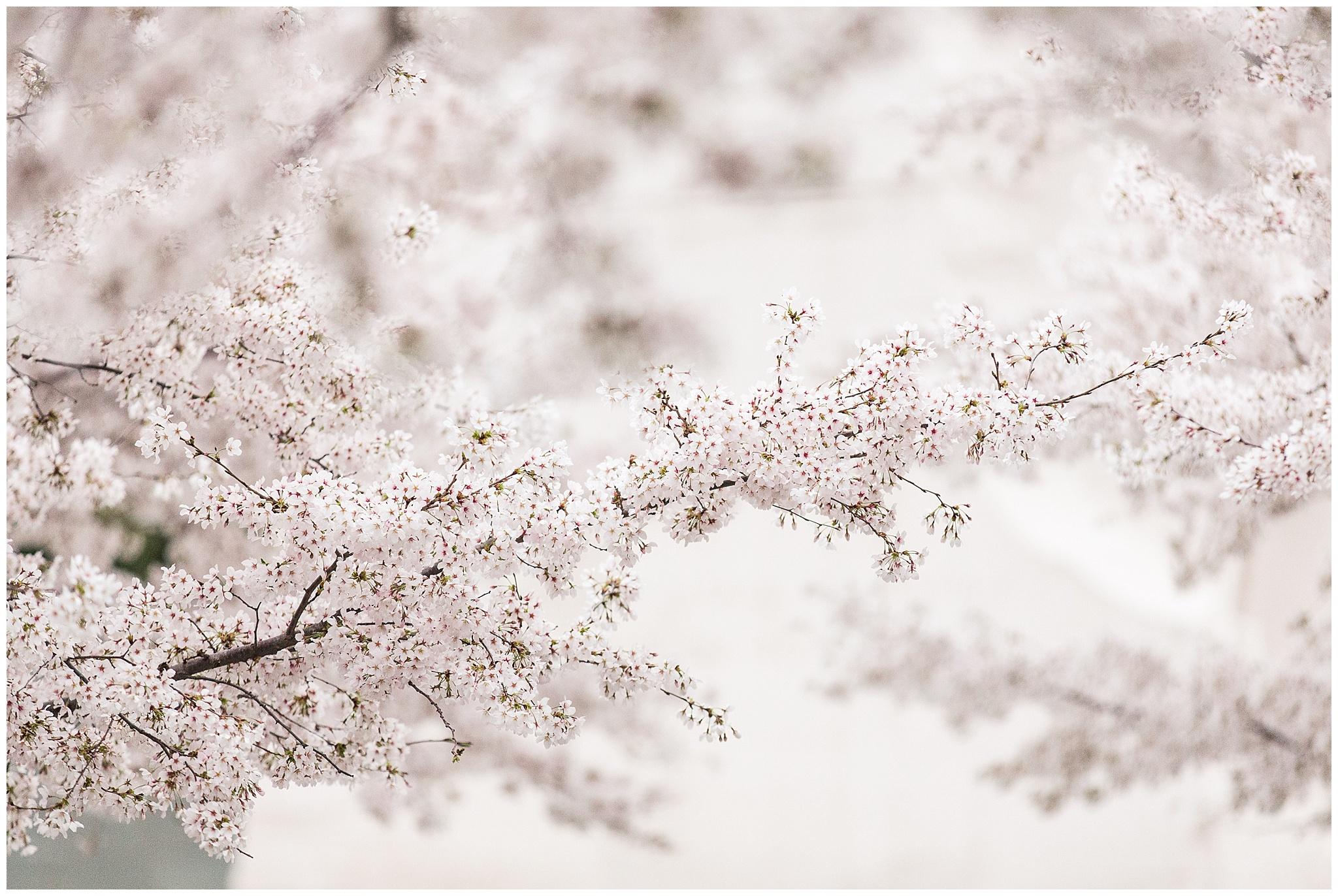cherryblossoms_0019.jpg
