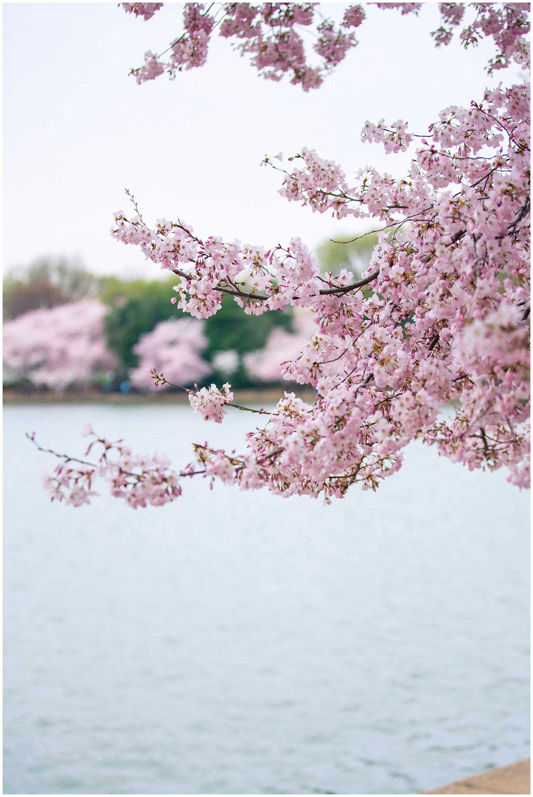 cherryblossoms_0023.jpg