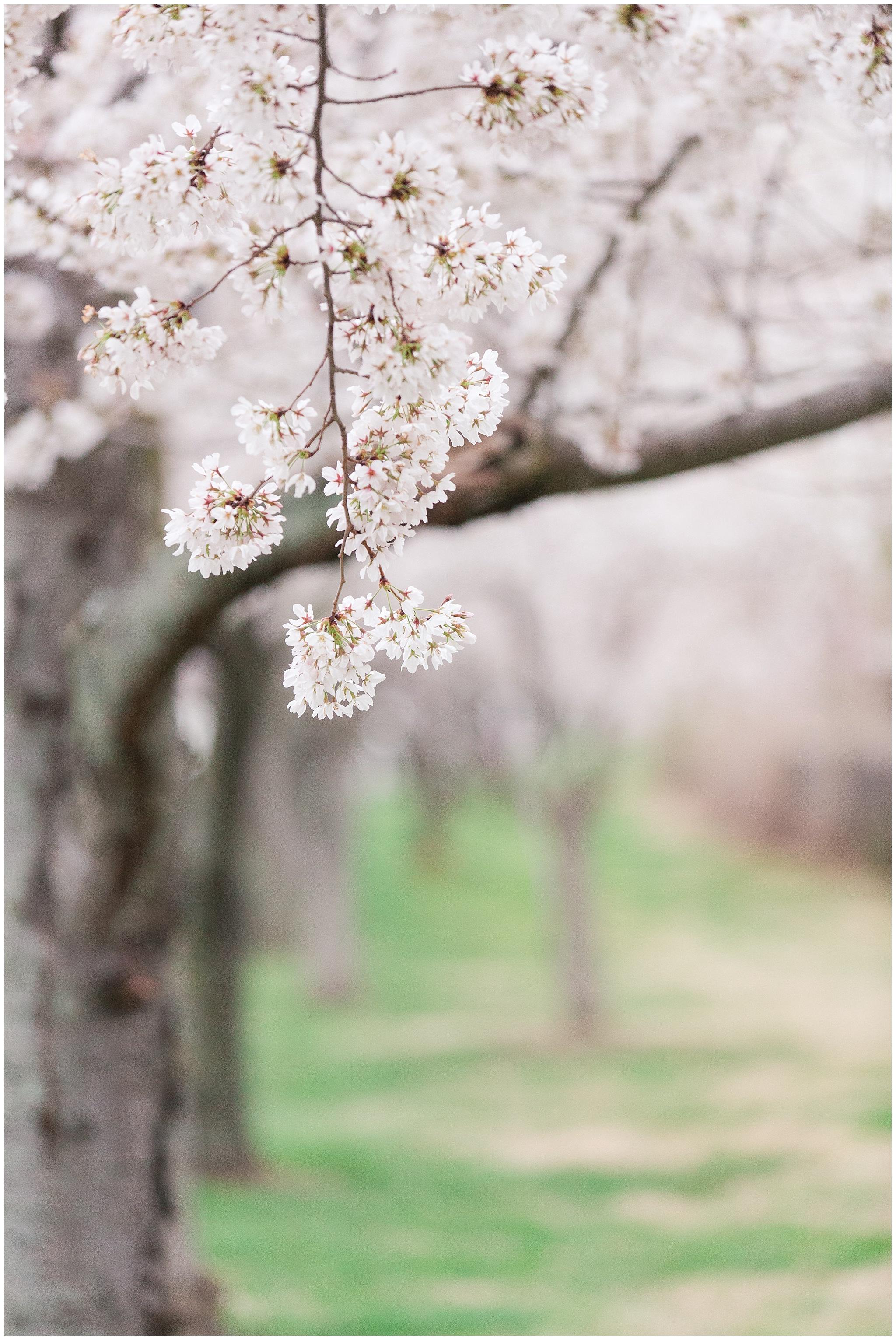 cherryblossoms_0024.jpg