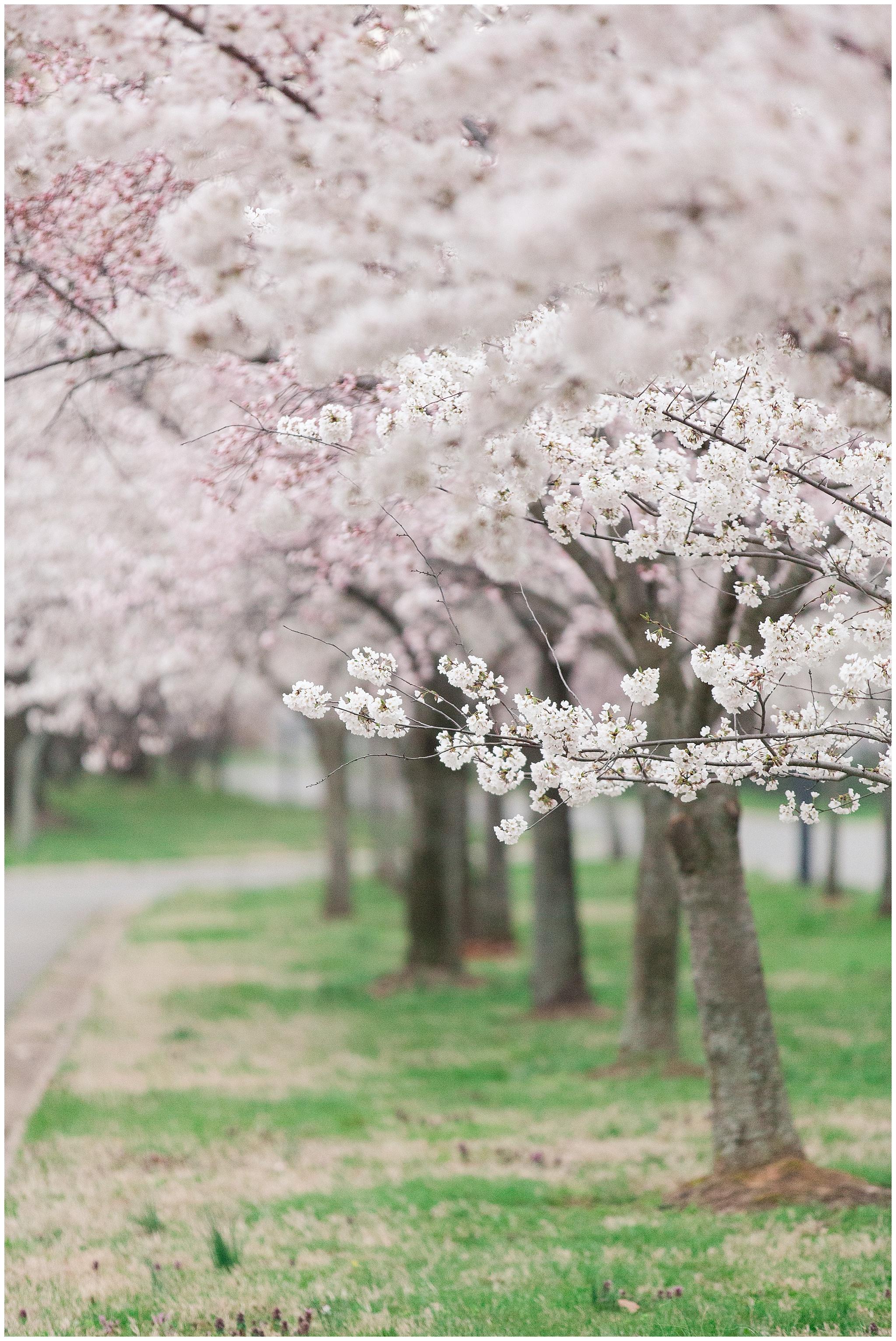 cherryblossoms_0025.jpg
