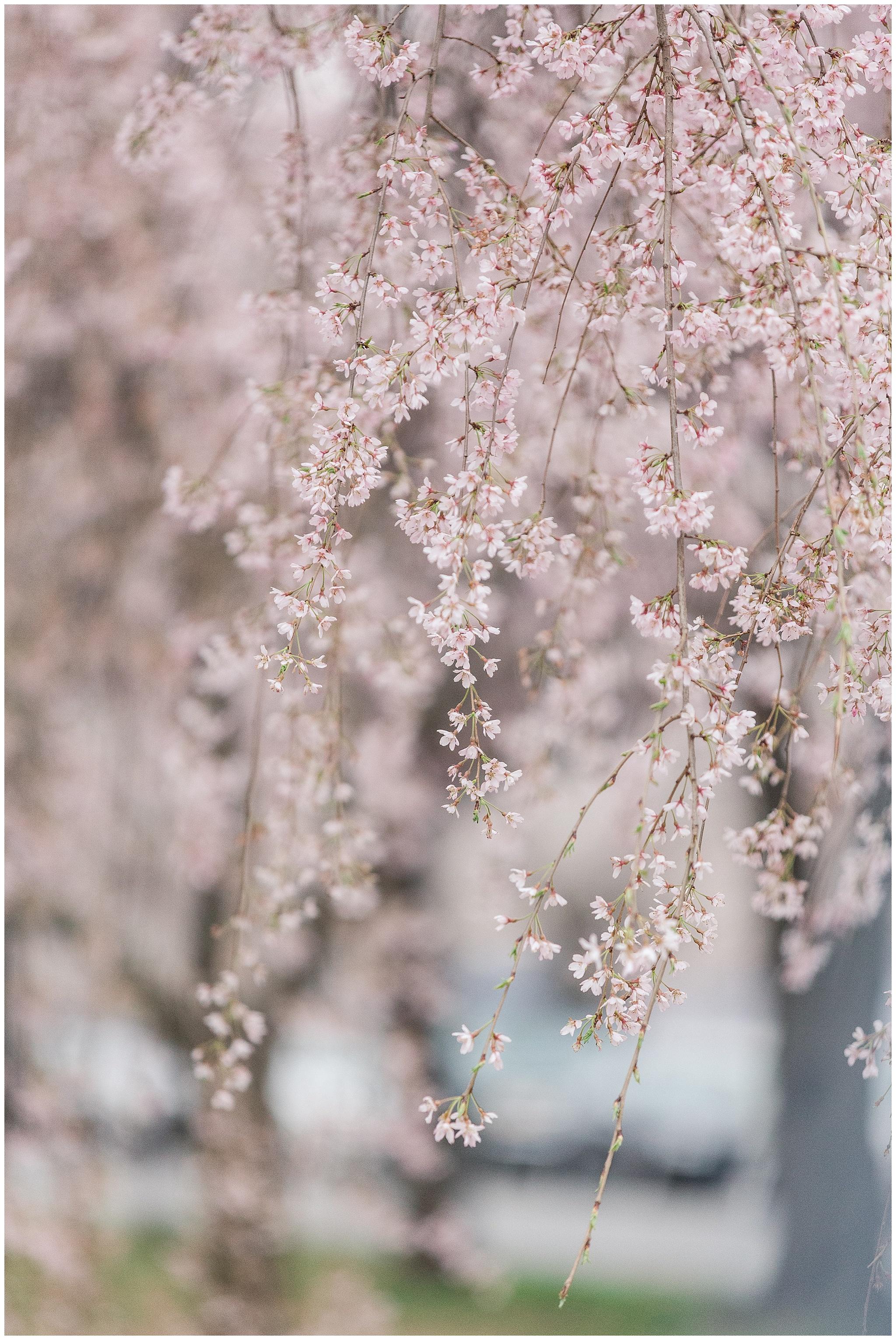 cherryblossoms_0026.jpg