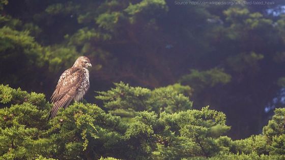 Red Tailed Hawks prefer a mix of tall trees and open grasslands for hunting and nesting. (1).png