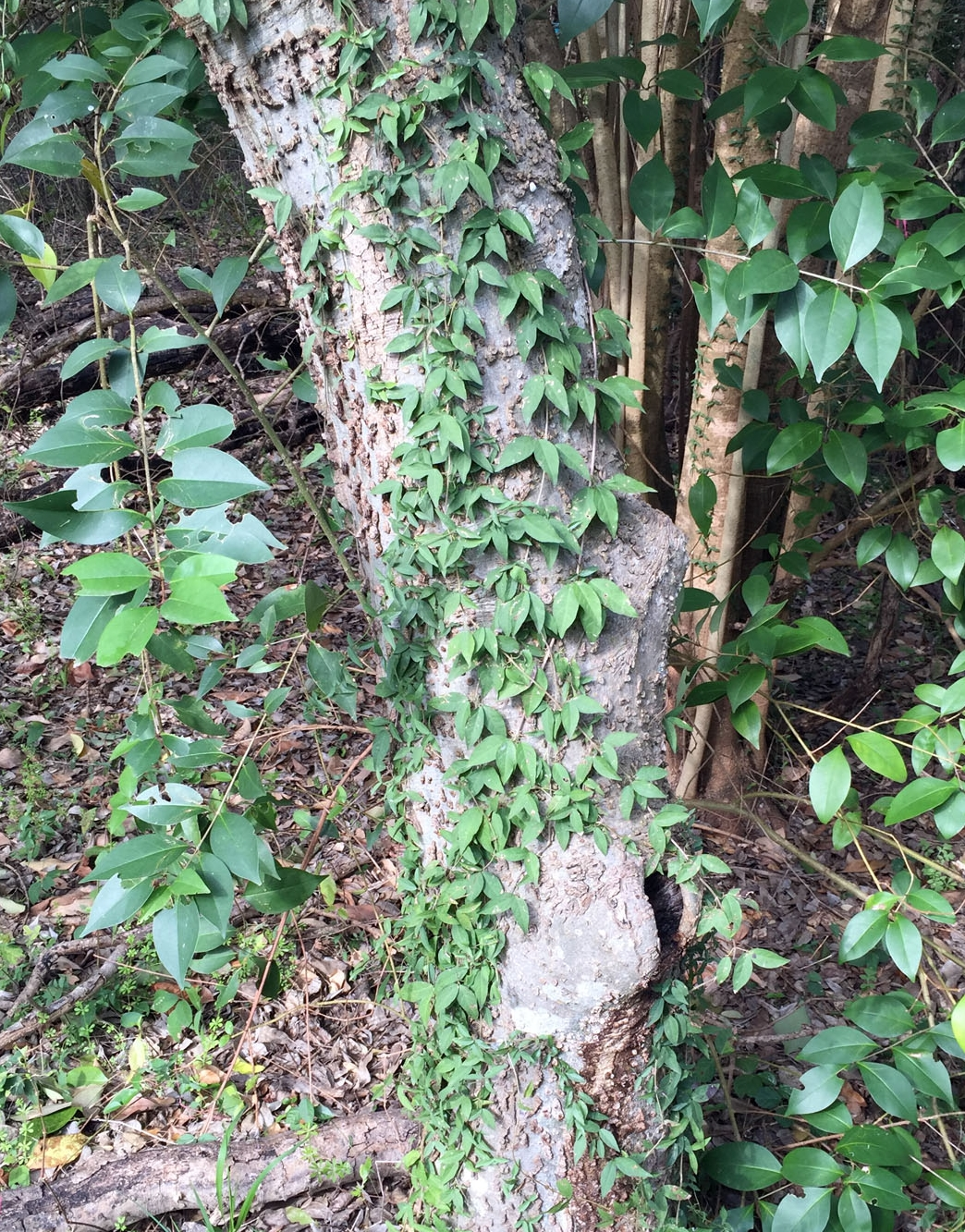 Invasive Cat's Claw Vine in the Sanctuary.JPG