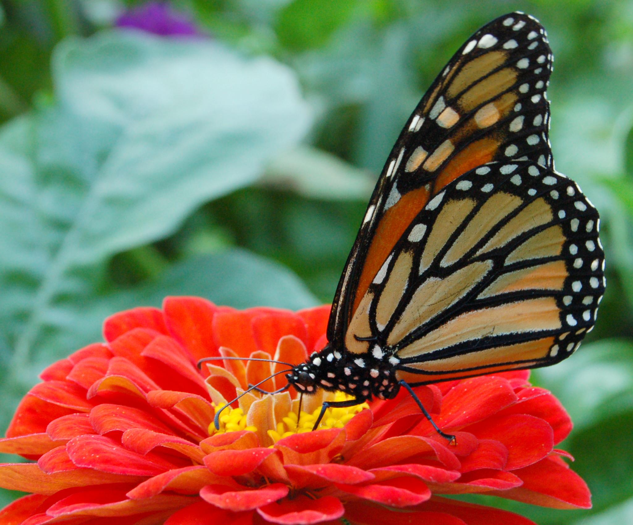 Monarch_Butterfly_Red_Zinnia_2050px.jpg