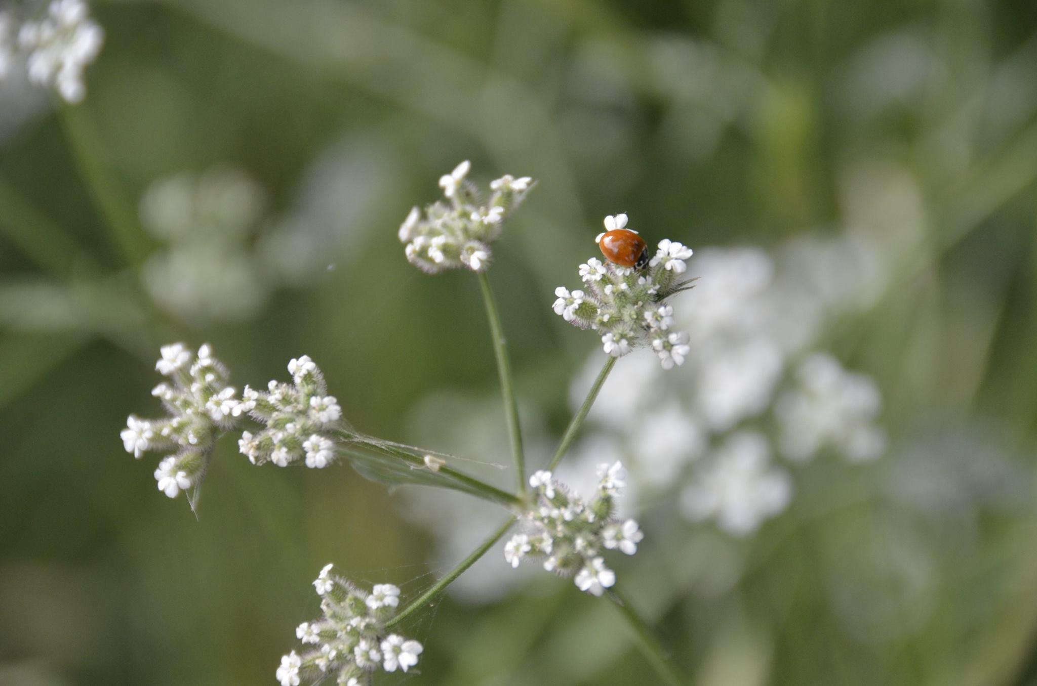 ladybug from HIW facebook.jpg